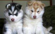 щенок сибирской хаски