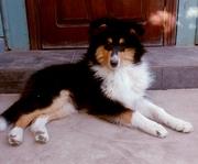 Продаётся щенок шотландской овчарки (колли длинношерстный)